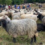 На Рахівщині відзначали «Розлучення овець»